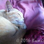 パンガン島のネコ