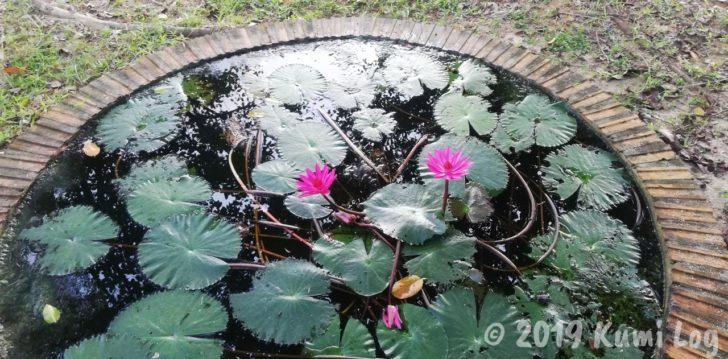 ワット・スワンモック瞑想施設、小さめホールに咲く蓮の花