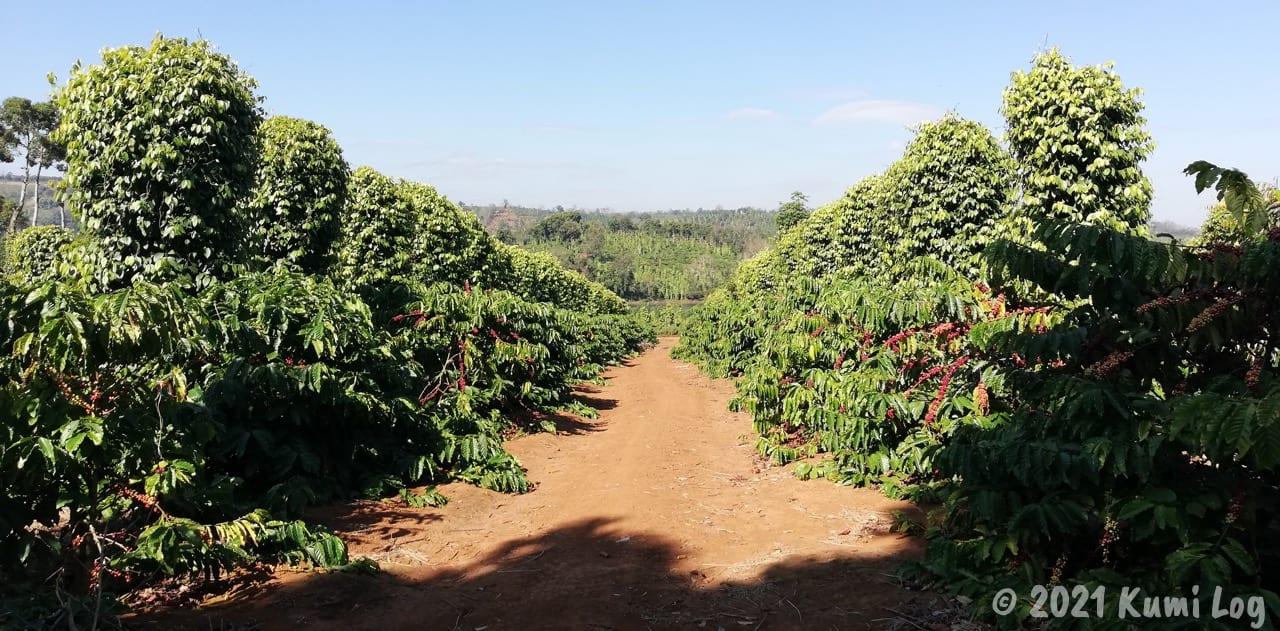 ベトナム・Dak Milのコーヒー農園