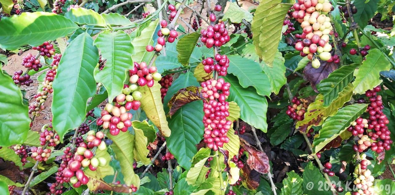 ベトナムのコーヒーの実