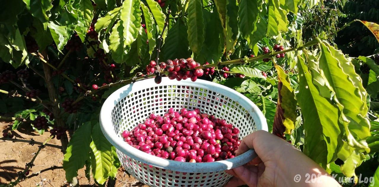 コーヒーを収穫しているところ